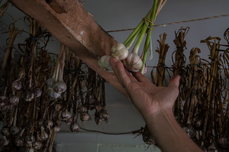 Photo: Garlic fresh harvest, ready to be dried